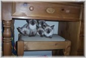 Kittens At Hubbell Siamese